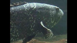 タマカイ Giant grouper part2 犬吠埼マリンパーク Inubousaki Marine Park(Tyousi,Chiba)