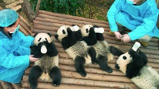 Video PANDAS - OFFICIAL TRAILER [HD] download MP3, 3GP, MP4, WEBM, AVI, FLV Agustus 2019