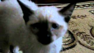 Котёнок по имени Томас опасный тип