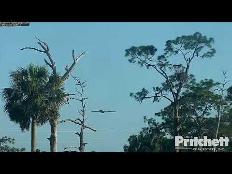 SWFL Eagles ~ E11 Swoops Down & Chases Ducks At Pond W/ SLO MO 4.3.18