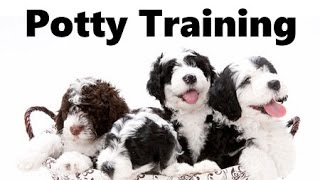 How To Potty Train A Portuguese Water Dog Puppy - House Training Portuguese Water Dog Puppies