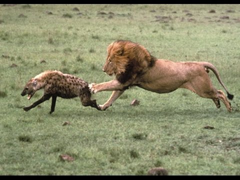 *BIG LION KILL HYENA* HARD ATTACK