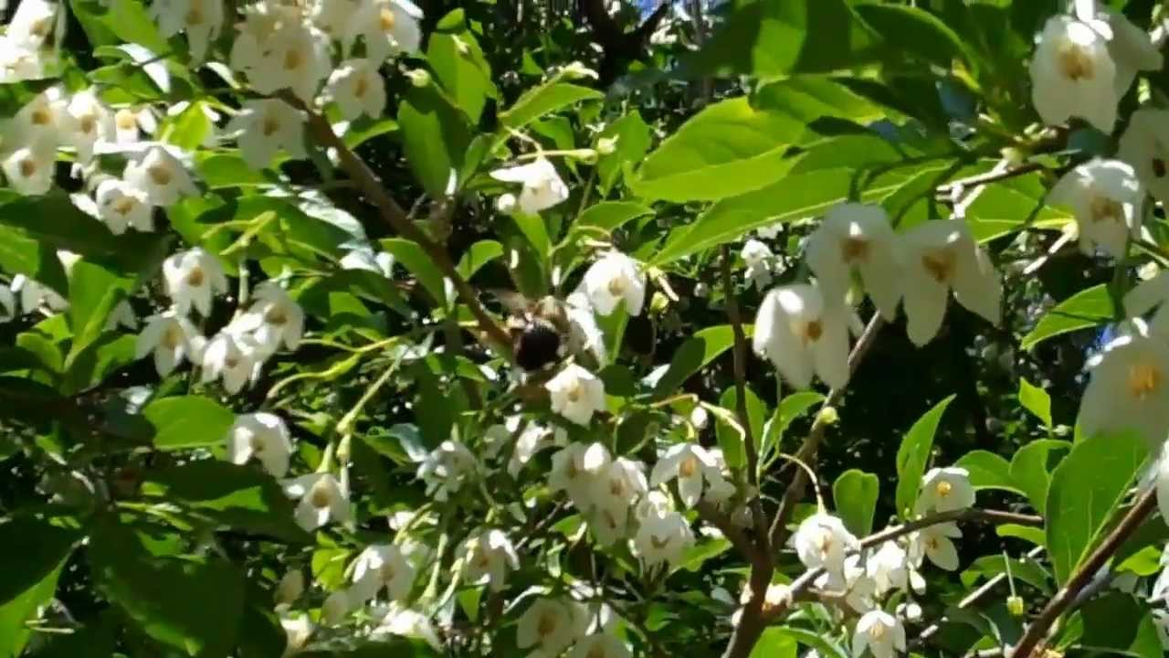 Japanese Snowbell - YouTube - photo#34