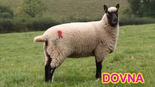 разведение овец , что я делаю из шерсти