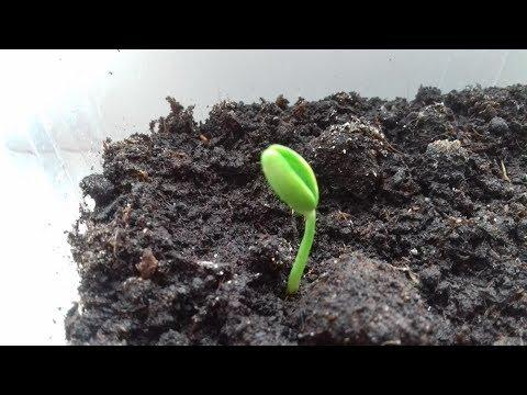 Вопрос: Семена белой акации съедобны или ядовиты?