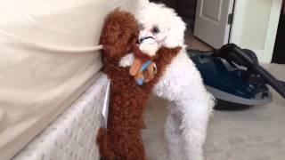 Cute Toy Poodles Wrestle For Stuffed Lion