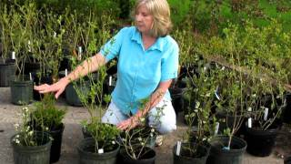 Blueberry Plant Varieties: Selecting Hardy Varieties for Northern Climates (Zones 3 and 4)