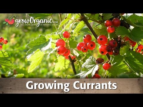 Growing Currants
