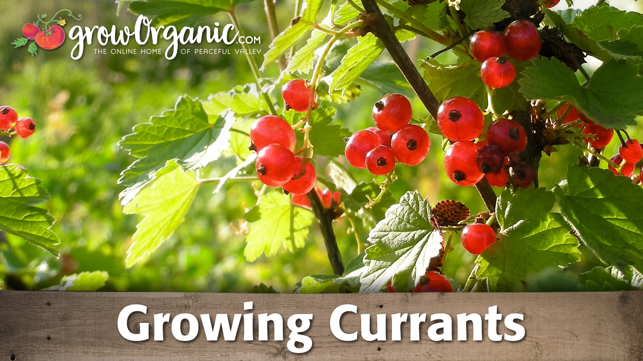 Growing Currants Organically Youtube
