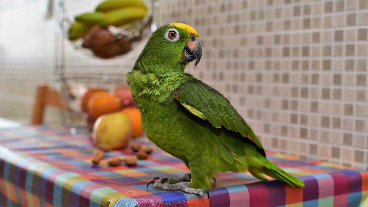 Попугай Roma, Амазон. El Loro del Amazonas.