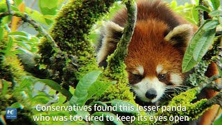Sleepy lesser panda spotted in Yunnan, SW China