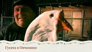 Холмогорские гусята