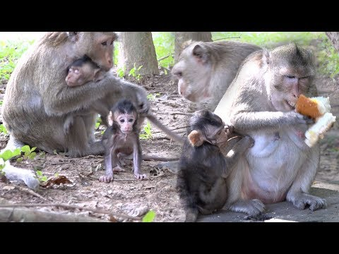 New Discovery Place For Monkeys | There Are Many Newborn Bay Monkeys In Angkor Wat