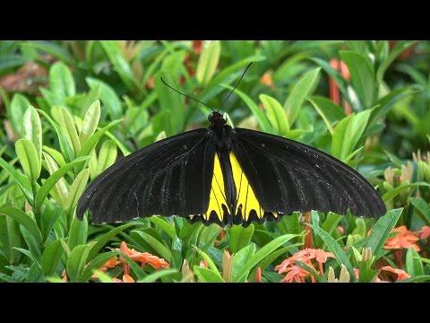 In Search of the Birdwing Butterfly