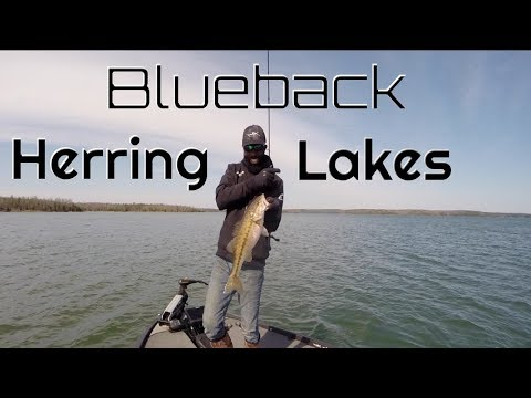 Breaking Down Blueback Herring Lakes
