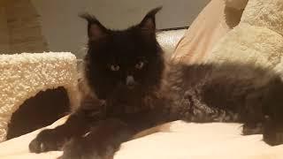 Черный дымный с белым, мальчик котенок Мейн-Кун в продаже,  3 месяца и неделя