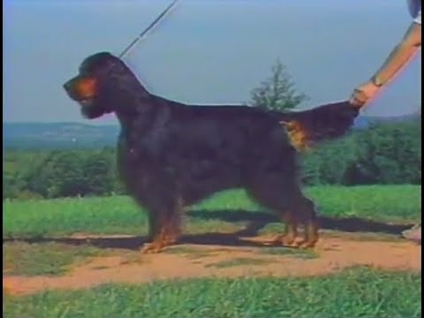 Gordon Setter - AKC Dog breed series