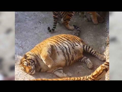 Overweight Siberian tigers become online sensation in China