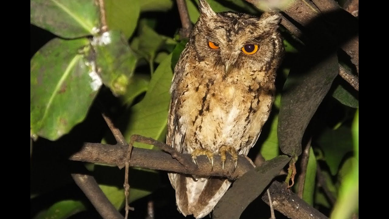 Sunda Scoops Owl Celepuk Reban Otus Lempiji Youtube