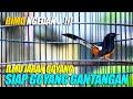 Memancing Emosi Murai Gacor Figter Bimo Ngedan Siap Goyang Gantangan Shama Bird  Mp3 - Mp4 Download