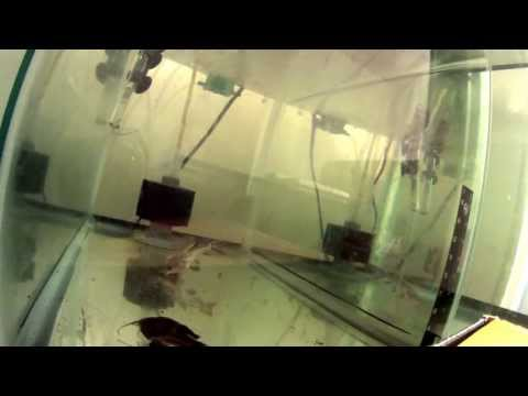 "Nigel my 30"" Oxydoras niger catfish playing with large rock !!! from YouTube · Duration:  44 seconds  · 892 views · uploaded on 3/7/2011 · uploaded by Dave Jed"