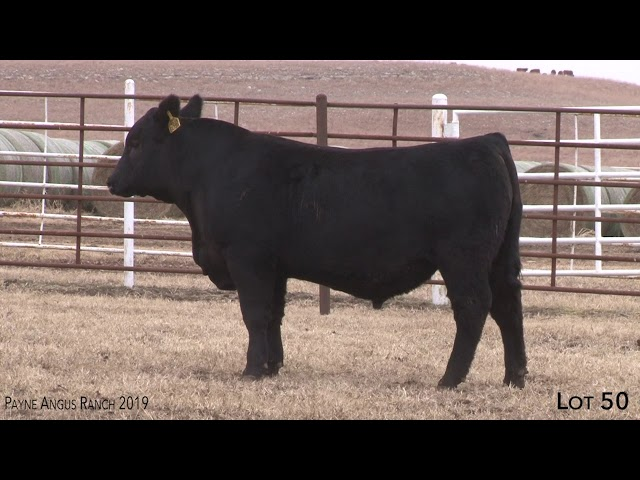 Payne Angus Ranch Lot 50
