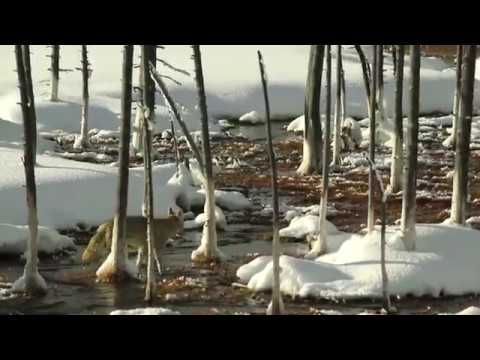 Winter in Yellowstone: Wildlife