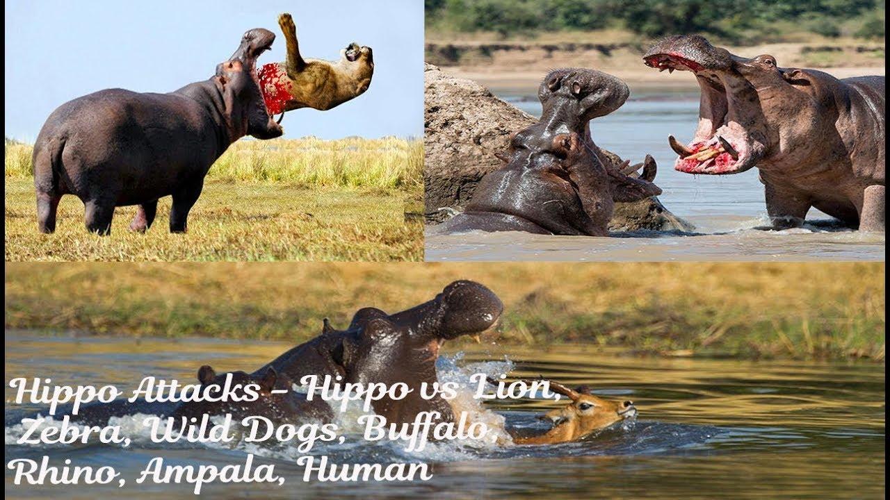 Hippo vs lion