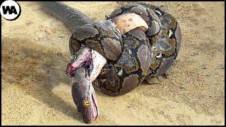 Вот Почему  Королевская Кобра Ненавидит Других Змей