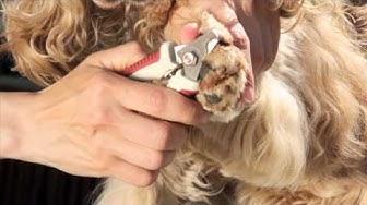KOPK - Koiran kynsien leikkaus