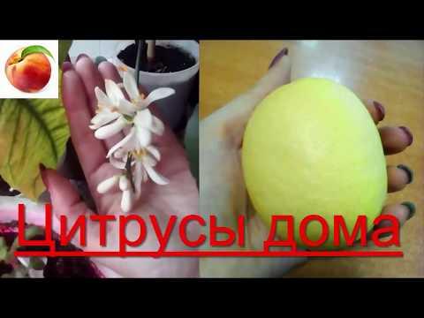 Лимоны Мандарины ДОМА  Зимой Разные сорта в квартире что хорошо плодоносит lemon citrus Mandarin