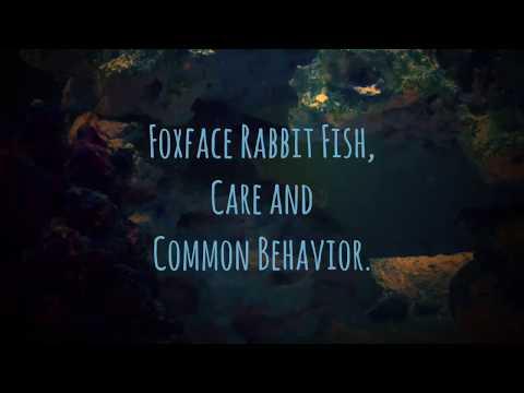 Foxface Rabbitfish, Care And Common Behavior.