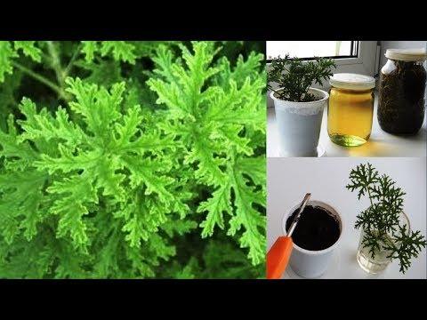 Пеларгония 💐 душистая - настойка. Pelargonium triste.