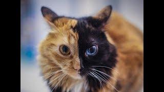 видео Пятнистые кошки: история происхождения