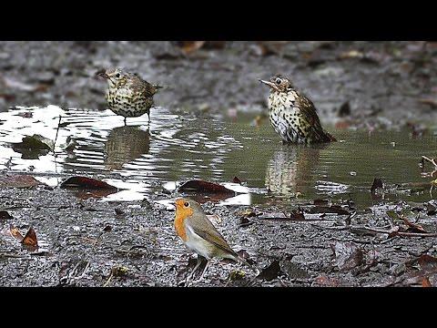 Birds in The Puddle Bird Bath - Song Thrush, Blackbird and Robin