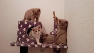 Британские котята.