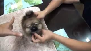 Teacup Sable Color Pomeranian Puppy Bowpup