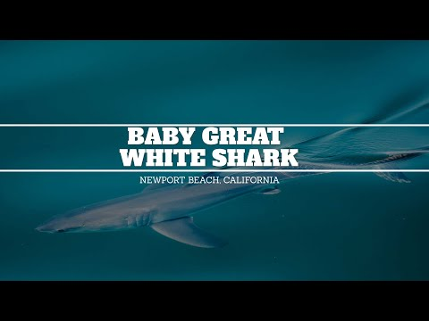 Baby Great White Shark Seen In Newport Beach, California By Whale Watching Boat
