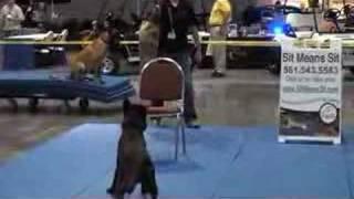 Police Dog Training - Control Work