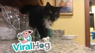 Bootsie the Cat Pushes Bowl off Bench || ViralHog