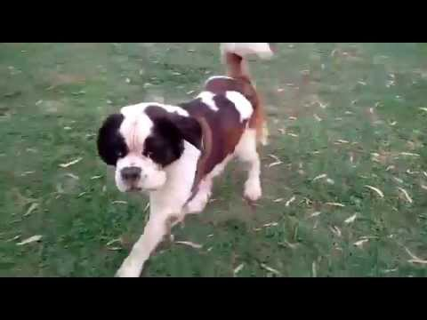 St. Bernard (dog) Play with other dogs