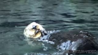 © Какой же он интересный этот калан! ⁄⁄ What it interesting that sea otters!