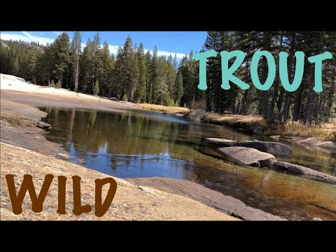 Tuolumne Meadows Wild Trout Fishing/Camping
