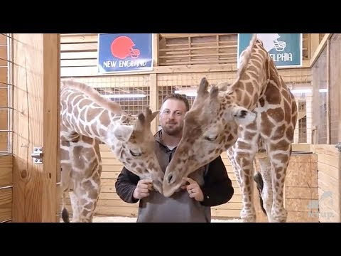 Video: April the Giraffe makes pick for Super Bowl 52
