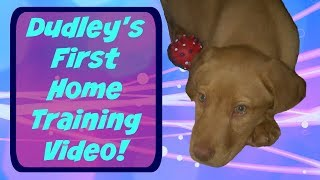 Dudley's First Home Training Video!  Puppy To Service Dog #1