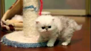 Персидские шиншиллы, котята. Bartolomeo Kelevra