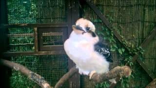 ワライカワセミ 鳴き声 笑い声 funny laughing kookaburra sound call voice effect
