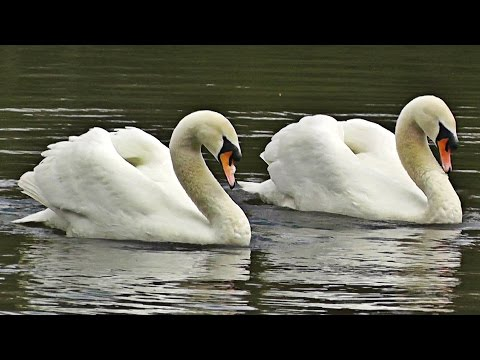 Swans Dancing  Mating Dance or Rotation Display
