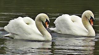 Swans Dancing - Mating Dance or Rotation Display