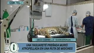 Una Yaguarete Preñada Murio Atropellada en una Ruta de Misiones   Diego Ciarmello   Guardaparque